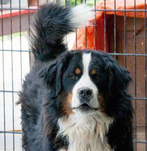 bennie adoptiehond blafengo apeldoorn dierenthuis almere berner sennen